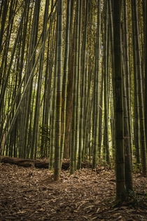 Bamboo Forest on East Palisades Trail GA