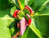 Banana Flower blossomheart a large tear-shaped purplish flower that forms below banana fruit cluster traditionally used in south-east Asian dishes