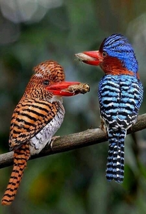 Banded kingfishers