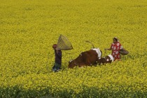 Bangladeshi farmers walk with their cattle through a mustard field at Singair outskirts of Dhaka