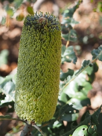 Banksia grandis inflorescence found in the Perth hills