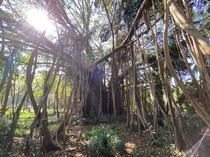 Banyan Tree I shot in Goa India - Ficus benghalensis - They grow aerial roots that develop individual trunks once they reach the ground This gives the perception that there is a forest when theres only one tree