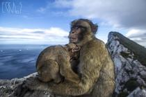 Barbary Macaques - Gibraltar -
