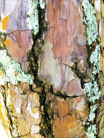 Bark of a Thousand Colors FL