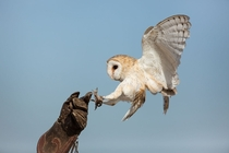 Barn owl landing on falconers hand
