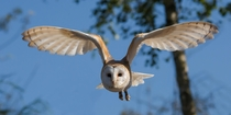 Barn Owl Photo credit to Danny Moore