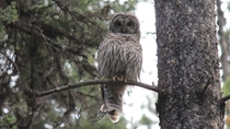 Barred Owl - Banff National Park Alberta