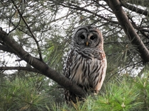 Barred Owl in pine tree