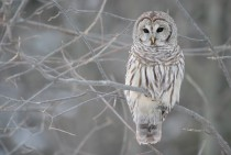 Barred Owl in Winter Strix Varia