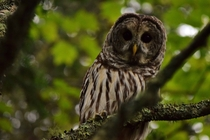 Barred Owl posing for me on Madeline Island  x