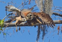 Barred Owl Strix varia Attacking Red-shouldered Hawk Buteo lineatus