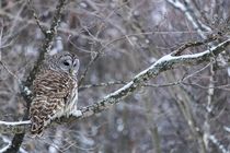 Barred Owl Strix Varia in Qubec Canada