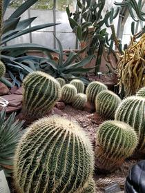 Barrel cactuses in the Lamberton Conservatory Rochester