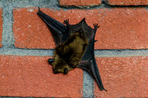 Bat asleep on my front porch in Mouth of Wilson VA
