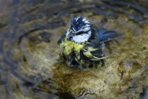 Bathing blue tit