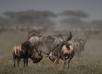 BATTLE OF WILDEBEEST