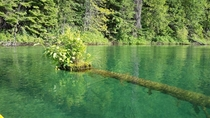Bead lake Washinton USA Island of vegetation grown at end of partially sunken tree