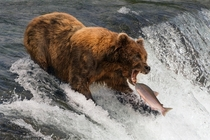 Bear about to catch a salmon Photo credit to Nick Dale