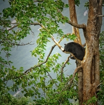 Bear in a tree Kenai Penninsula Alaska