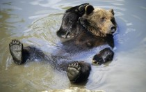 Bear relaxing in the water
