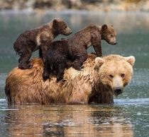 Bear-stacked