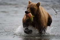 Bear with his catch x -post from rpics