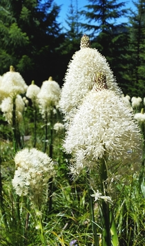 Beargrass flowers Xerophyllum tenax on Mt Hood