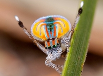 Beautiful Australian Peacock Spider