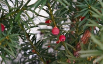 Beautiful Berries Taxus Baccata