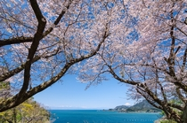 Beautiful coastline of Japan under the cherry trees with Mt Fuji in the distance  photo by Tomy Tsutsui