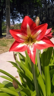 Beautiful contrast of red and white in this Lily Lilium