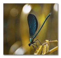 Beautiful Demoiselle Calopteryx virgo