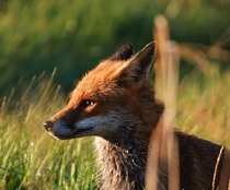 Beautiful Fox  x