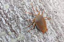 Beautiful hemipteran true bug on a tree trunk in Gold Coast Queensland