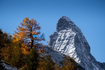 Beautiful old larch in its golden autumn colours with the Matterhorn in the background