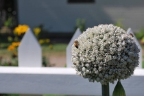 Beautiful picture of an Allium my mother took in Gaspsie
