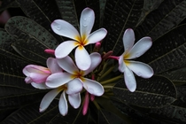 Beautiful Plumeria from the UNC Charlotte Botanical Gardens