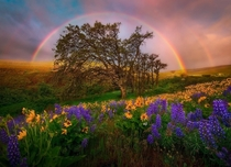 Beautiful rainbow framing the trees and wild flowers in Washington US by Marc Adamus