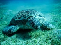 Beautiful sea turtle in the Red sea