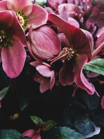 Beautiful shot of the lovely little flower hellebore Photo taken by me