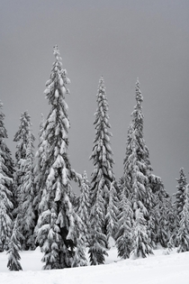 Beautiful snow laden trees near Stevens Pass WA