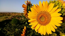 Beautiful sunflowerIran iso