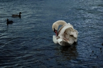 Beautiful Swan and two little ducks Chasewater England X