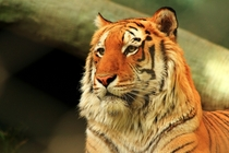 Beautiful tiger huge portrait