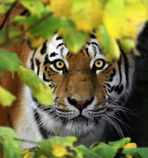 Beautiful Tiger Panthera Tigris Close-Up