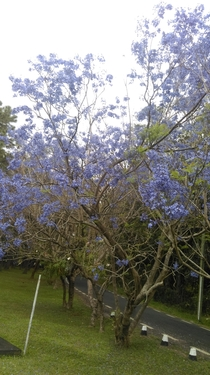 Beautiful tree Mauritius but i dont know its name