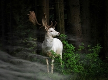 Beautiful white fallow deer_ Germany By Georg May