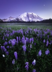 Beautiful wild flowers blooming during twilight at Mt Rainier Washington