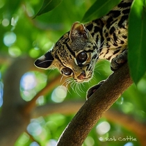 Beautifully captured Ocelot