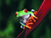 Beautifully colored Red-Eyed Tree Frog